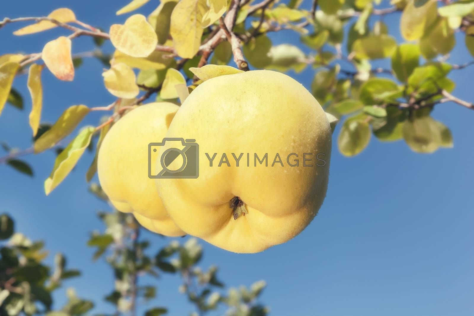 Ripe Quinces hanging from a tree, close up by Slast20
