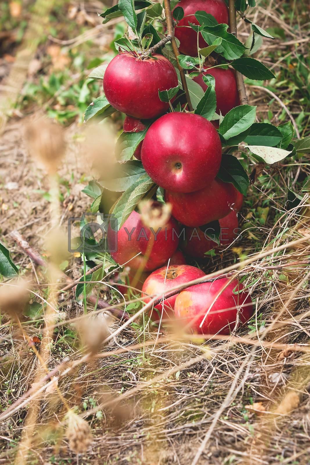 Fresh apples. by Slast20