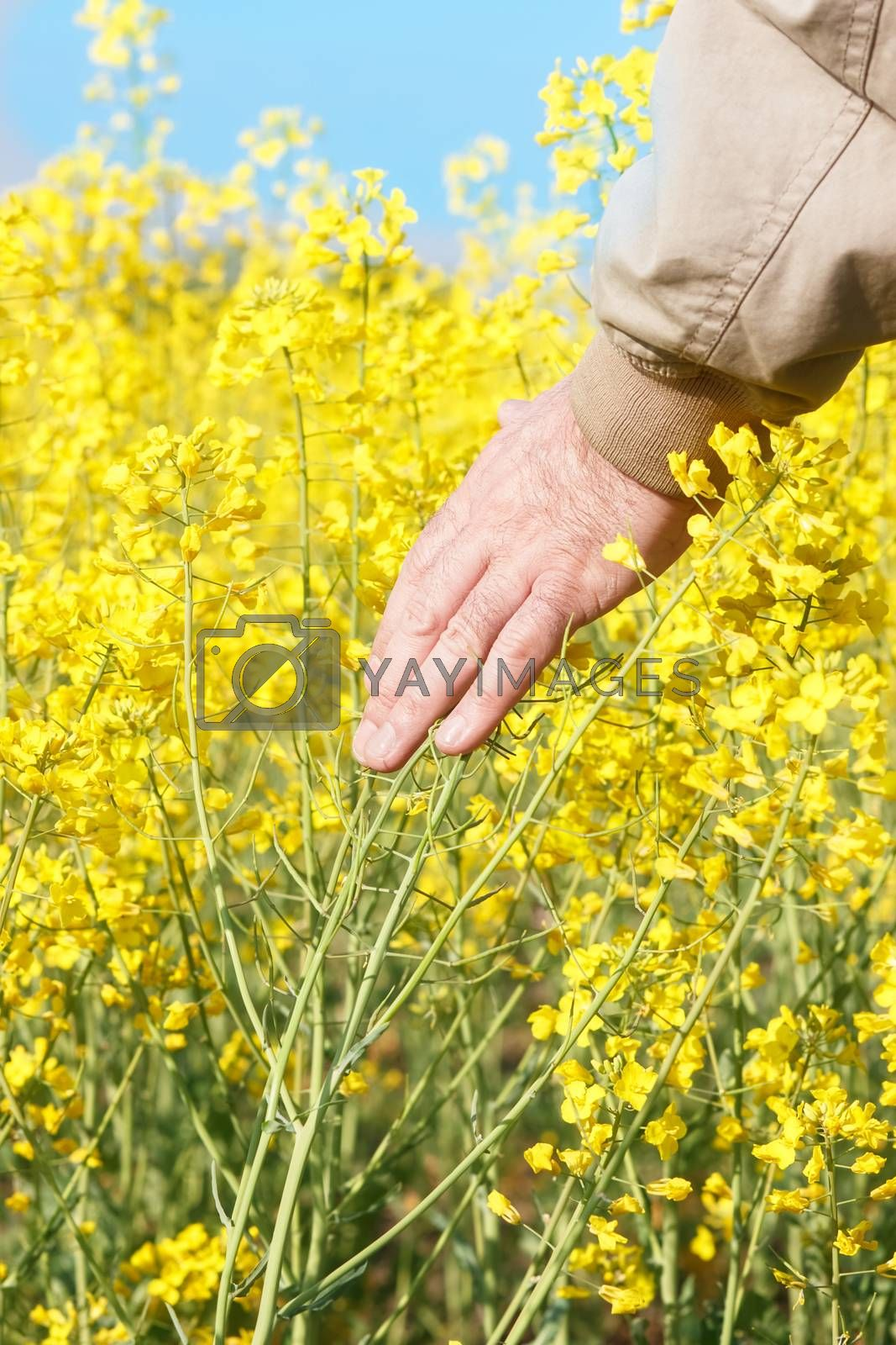Man touching rapeseed flowers. by Slast20