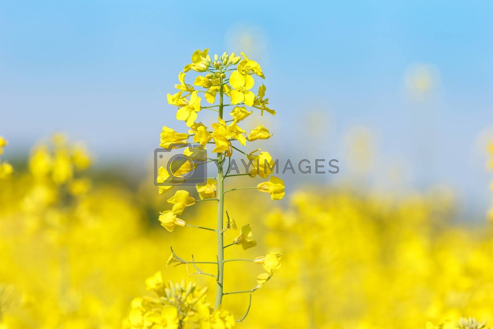 Rapeseed flower in a field by Slast20