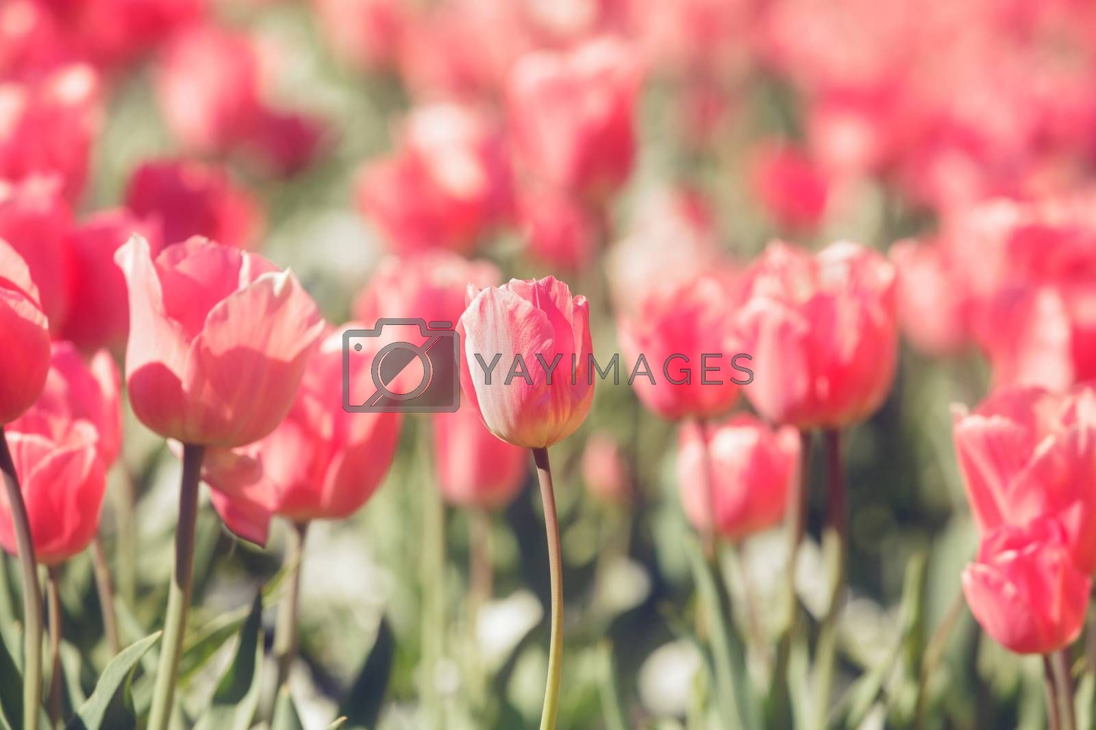 Red tulips by Slast20