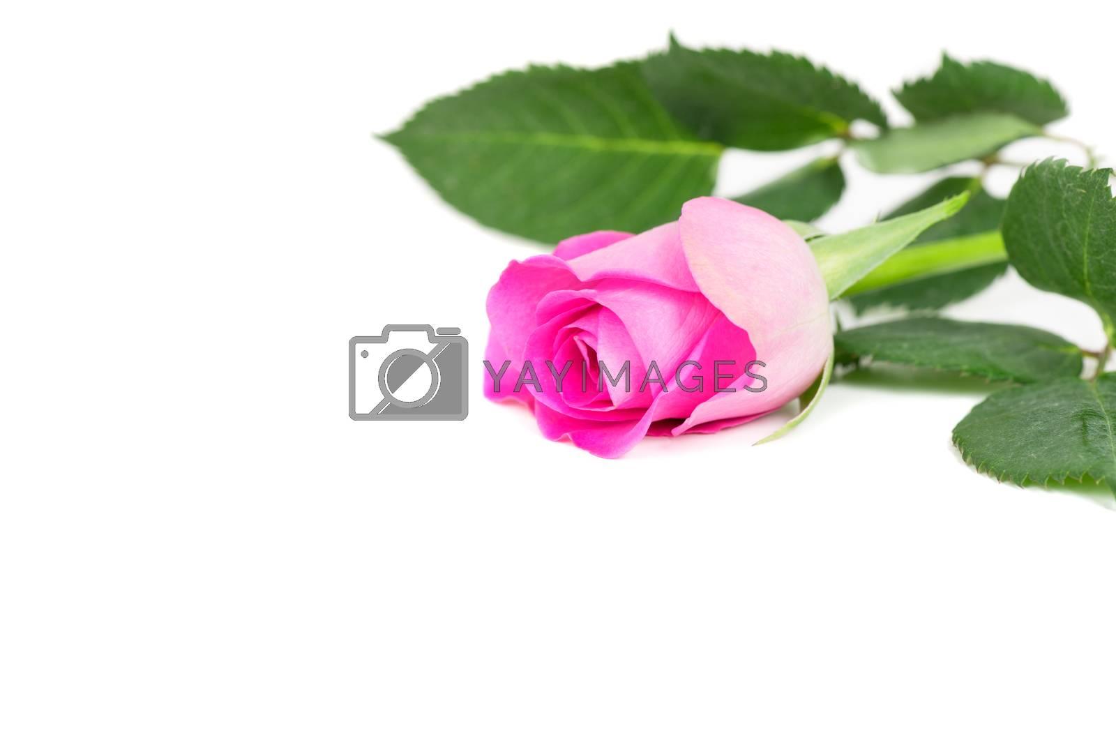 Pink rose isolated on white by Nanisimova
