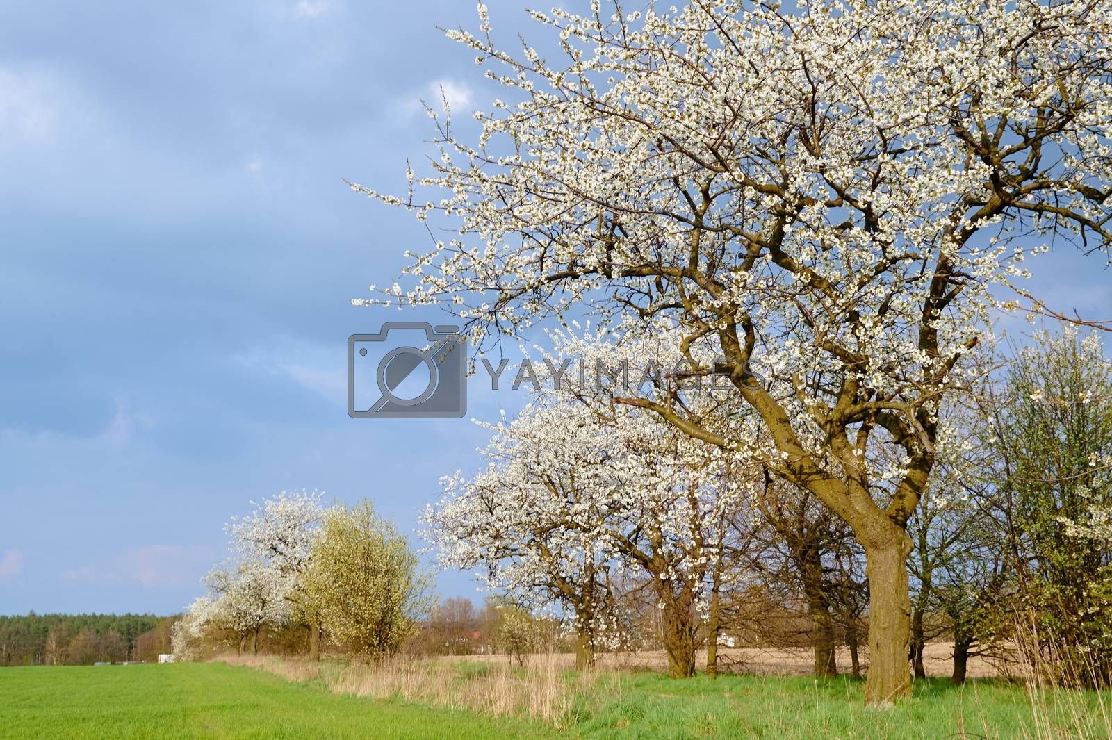 Dirt road and flowering trees by gkordus