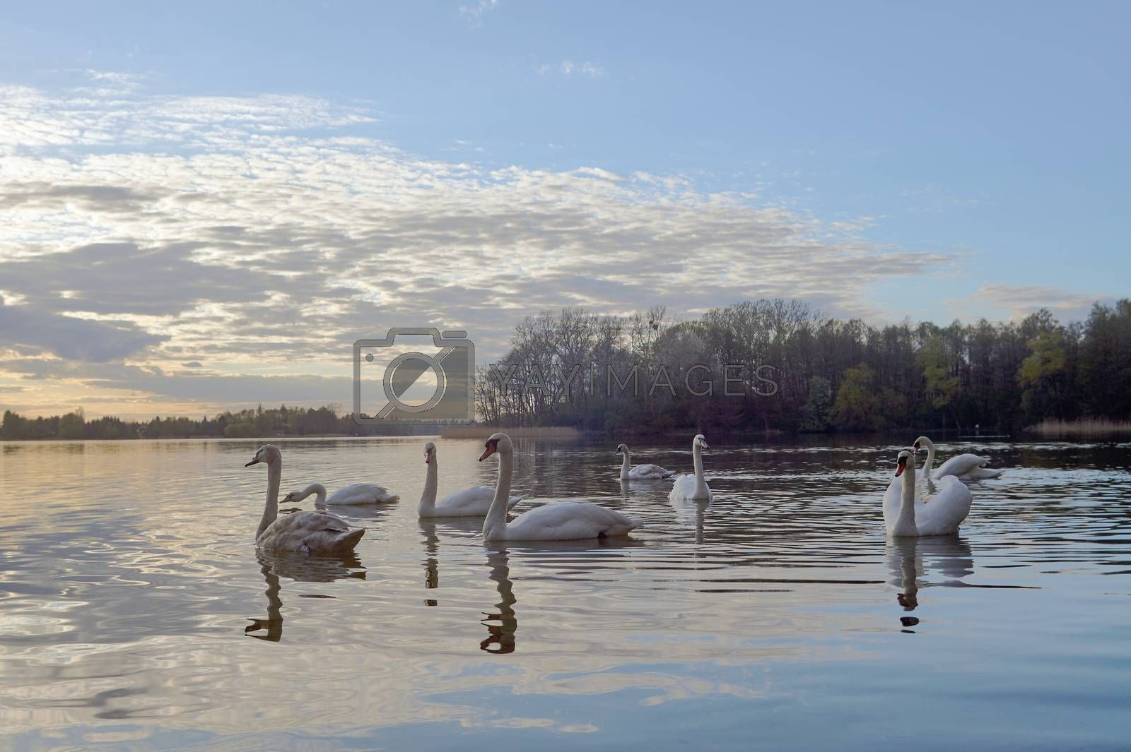 Lake and swans at sunset by gkordus