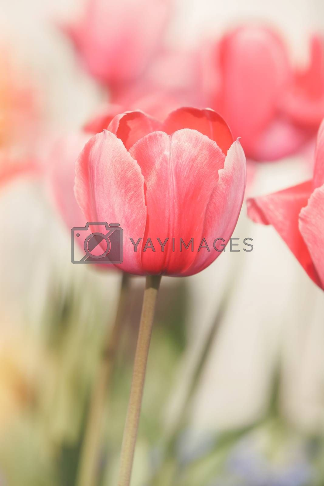 Red tulips opening with sunlight by Slast20
