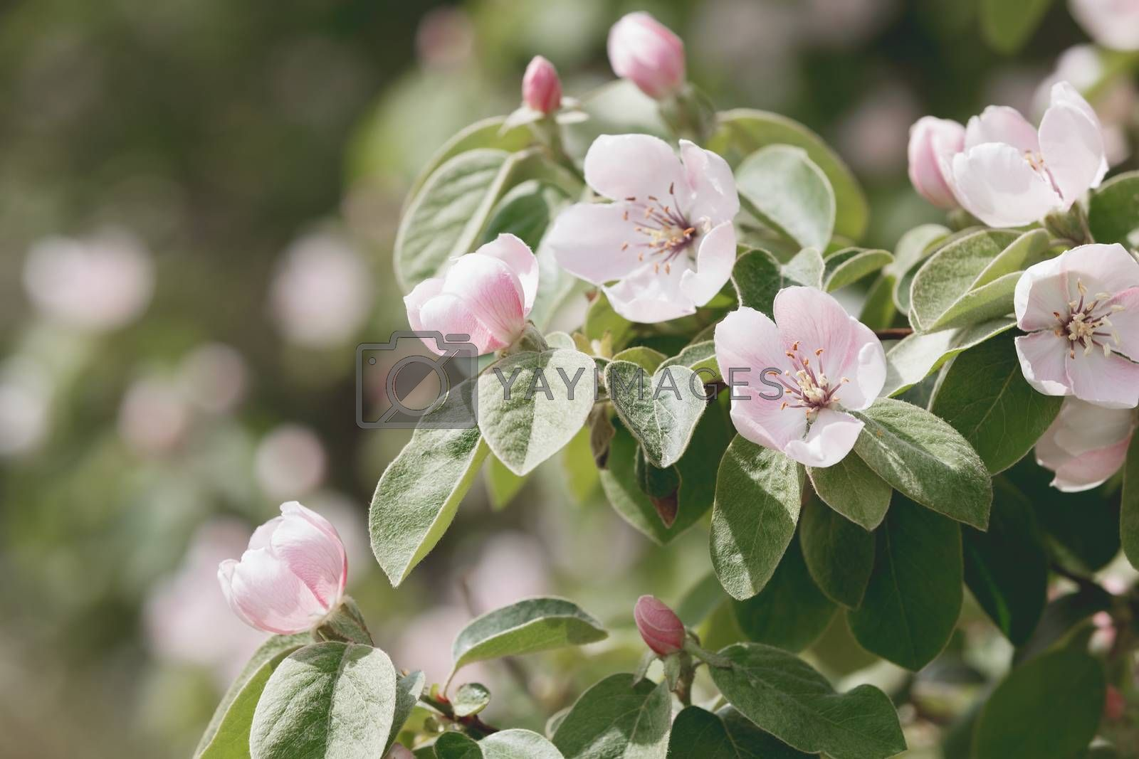 Blossoms of flowering quince by Slast20