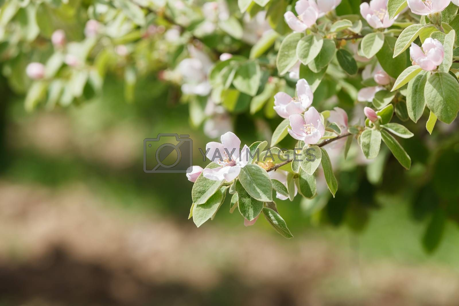 Spring orchard with blooming quince on a sunny day by Slast20