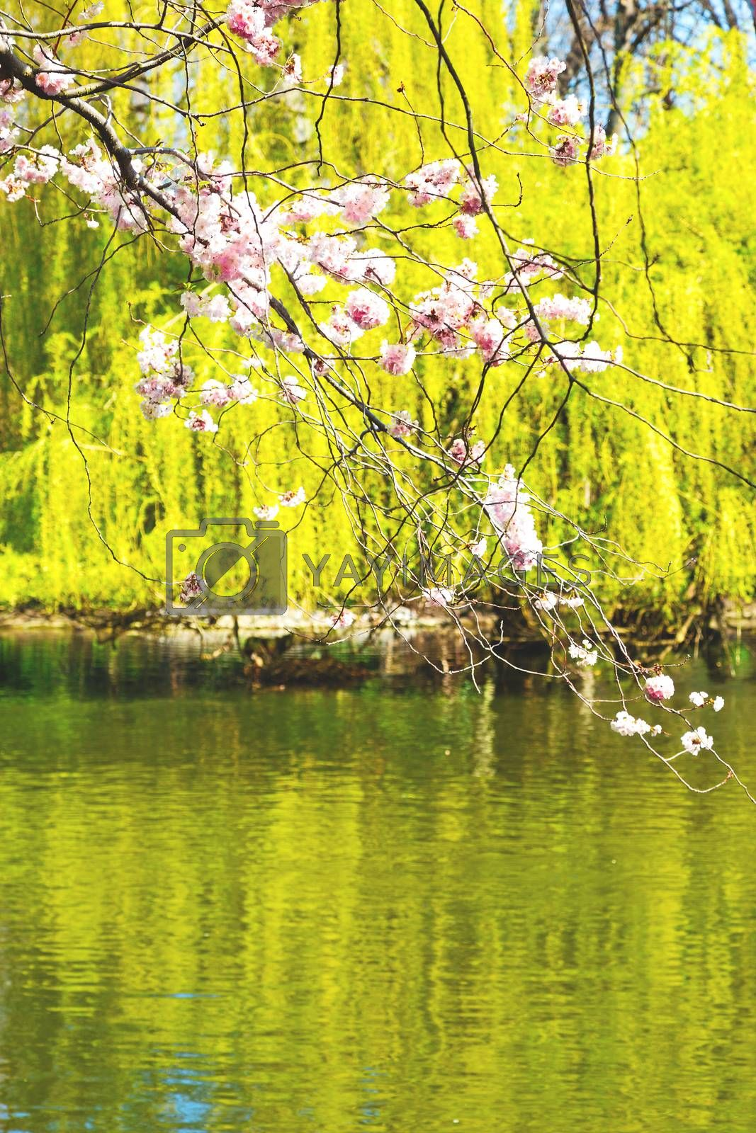 in    park the pink tree and blossom flowers natural by lkpro