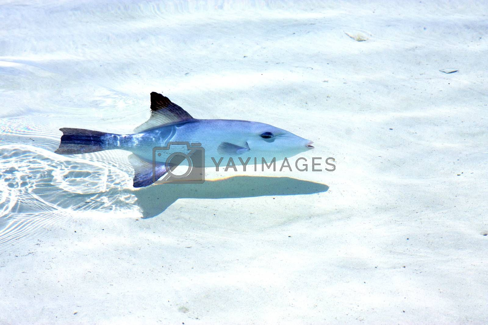 little fish   isla contoy           in    the sea drop sunny   by lkpro