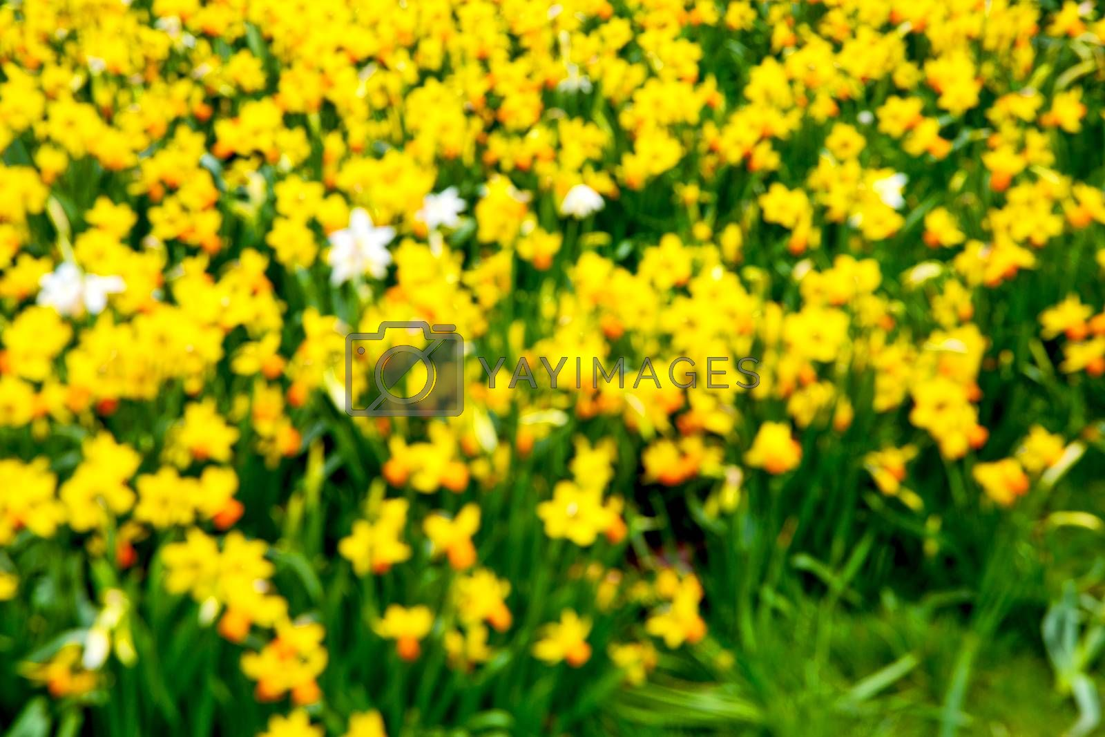 white in london yellow flower field nature   by lkpro