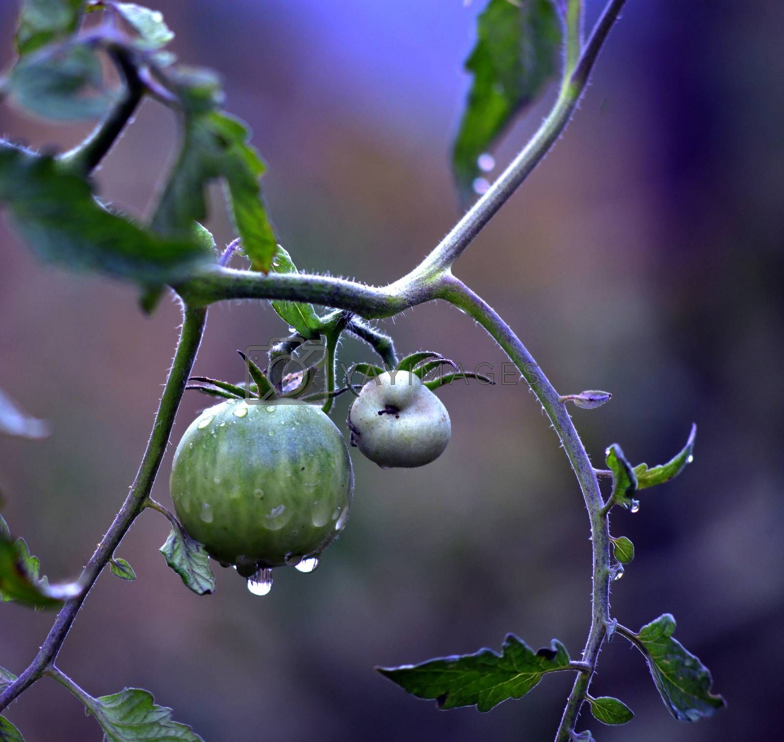 Homegrown organic tomatoes after the morning rain by nehru
