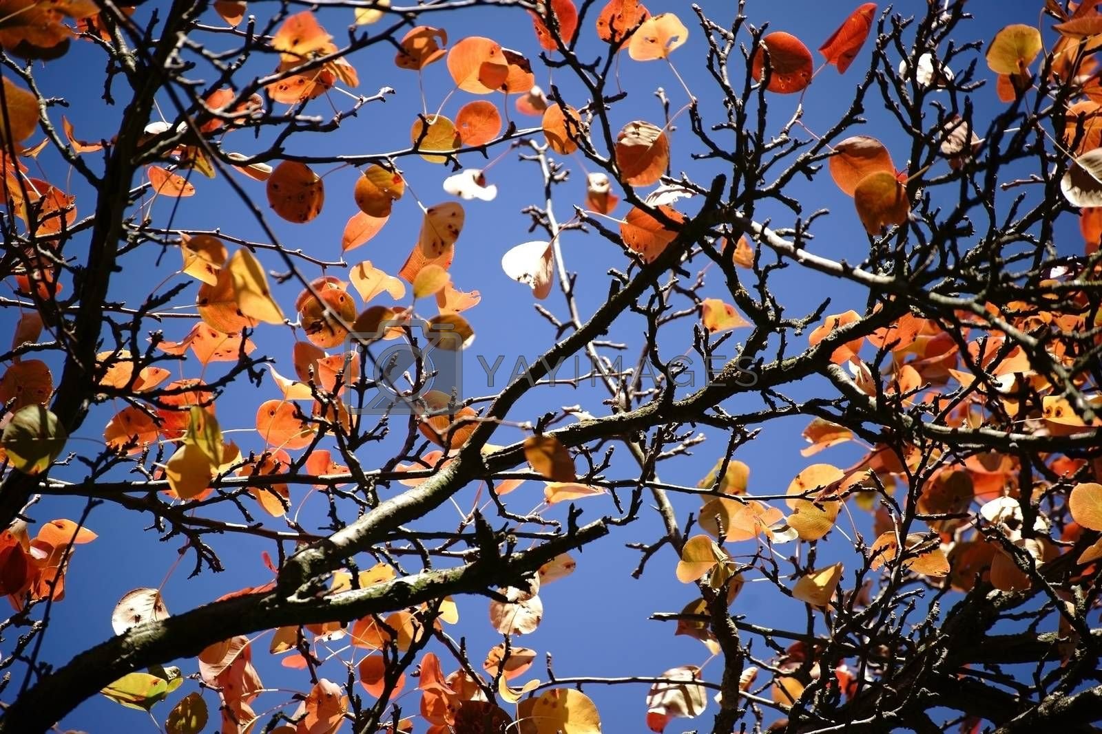 The canopy of a Ussuri pear tree in autumn, Pyrus ussuriensis.