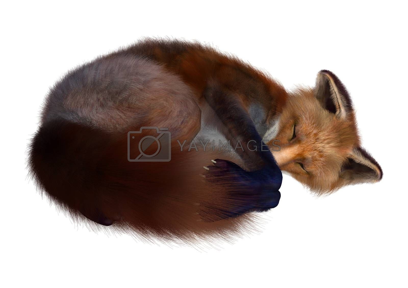 3D digital render of a red fox sleeping isolated on white background