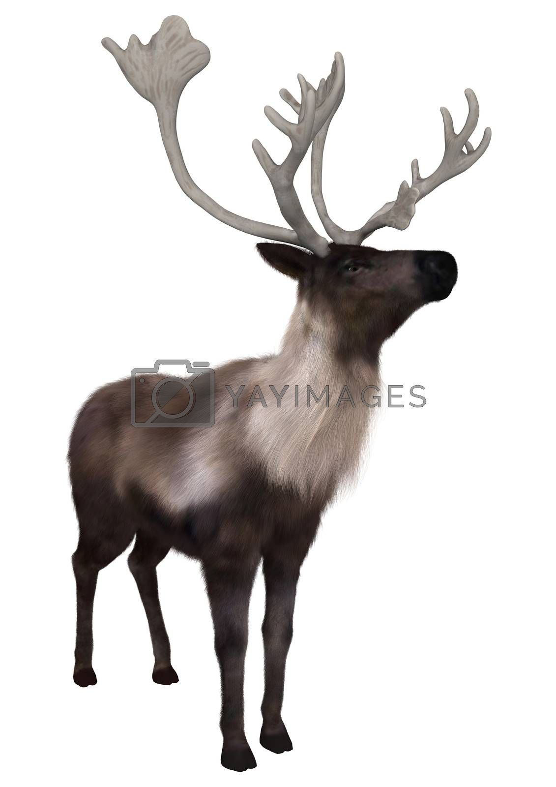 3D digital render of a caribou standing isolated on white background