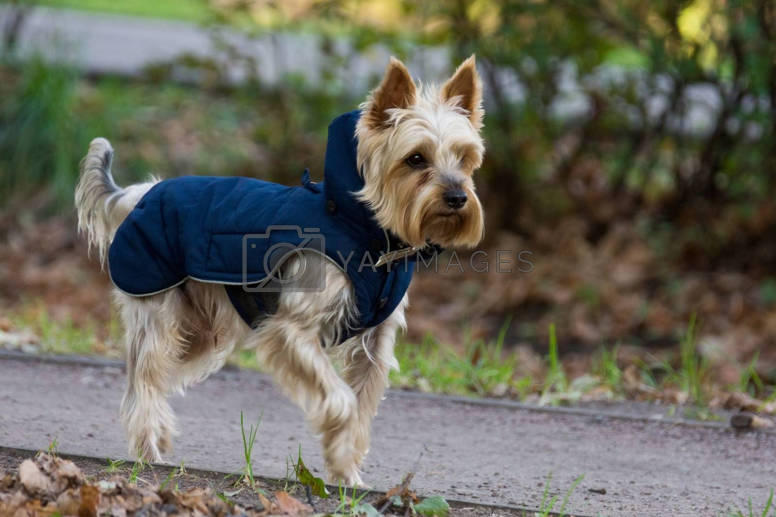 The photo shows a dog running in overalls
