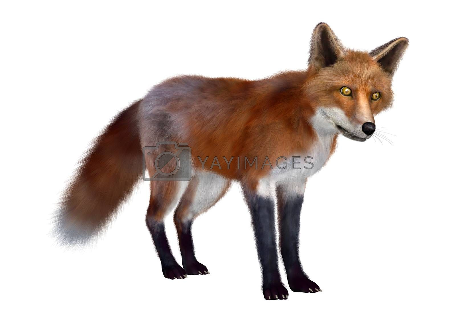 3D digital render of a red fox standing isolated on white background