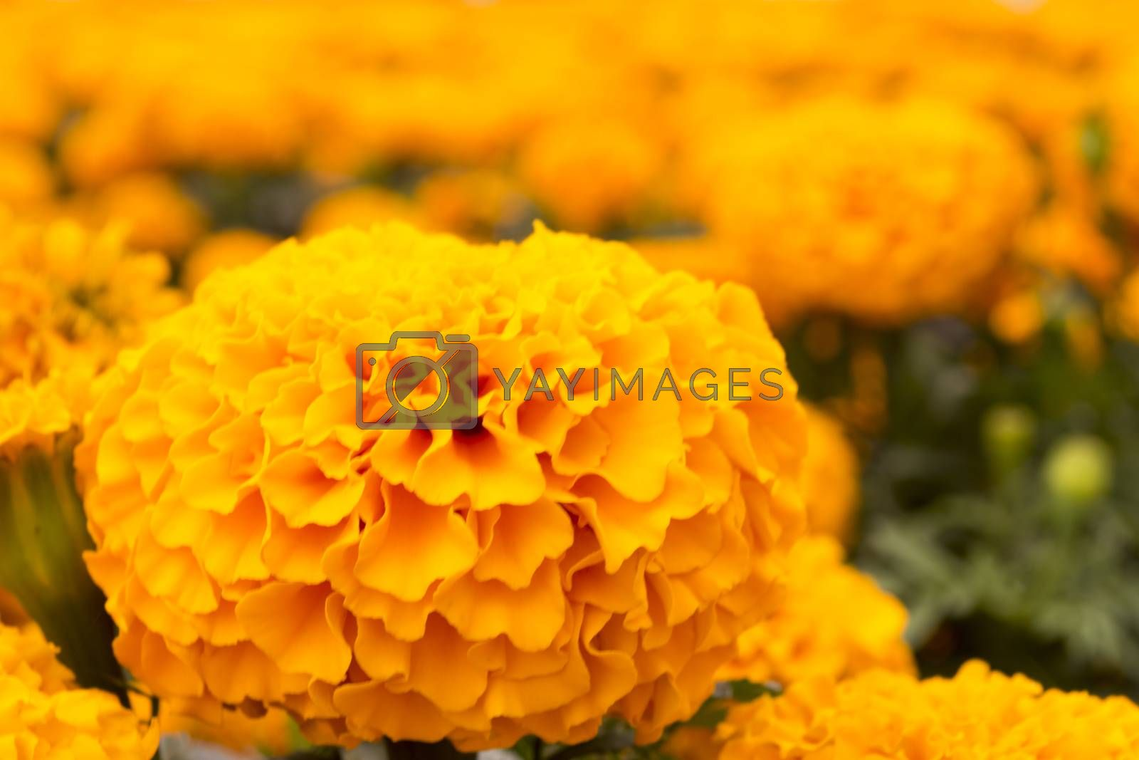 Orange Marigold - Cempasúchil Flower