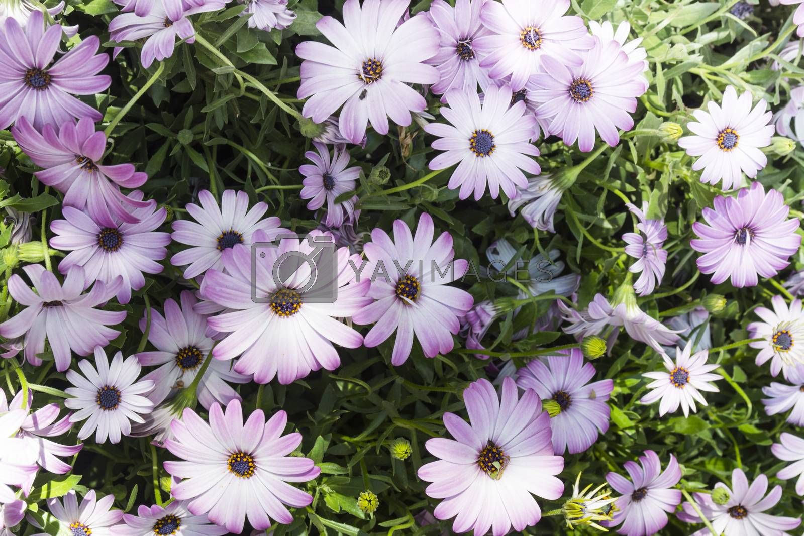 Group of wild daisies with details of leaves and stems