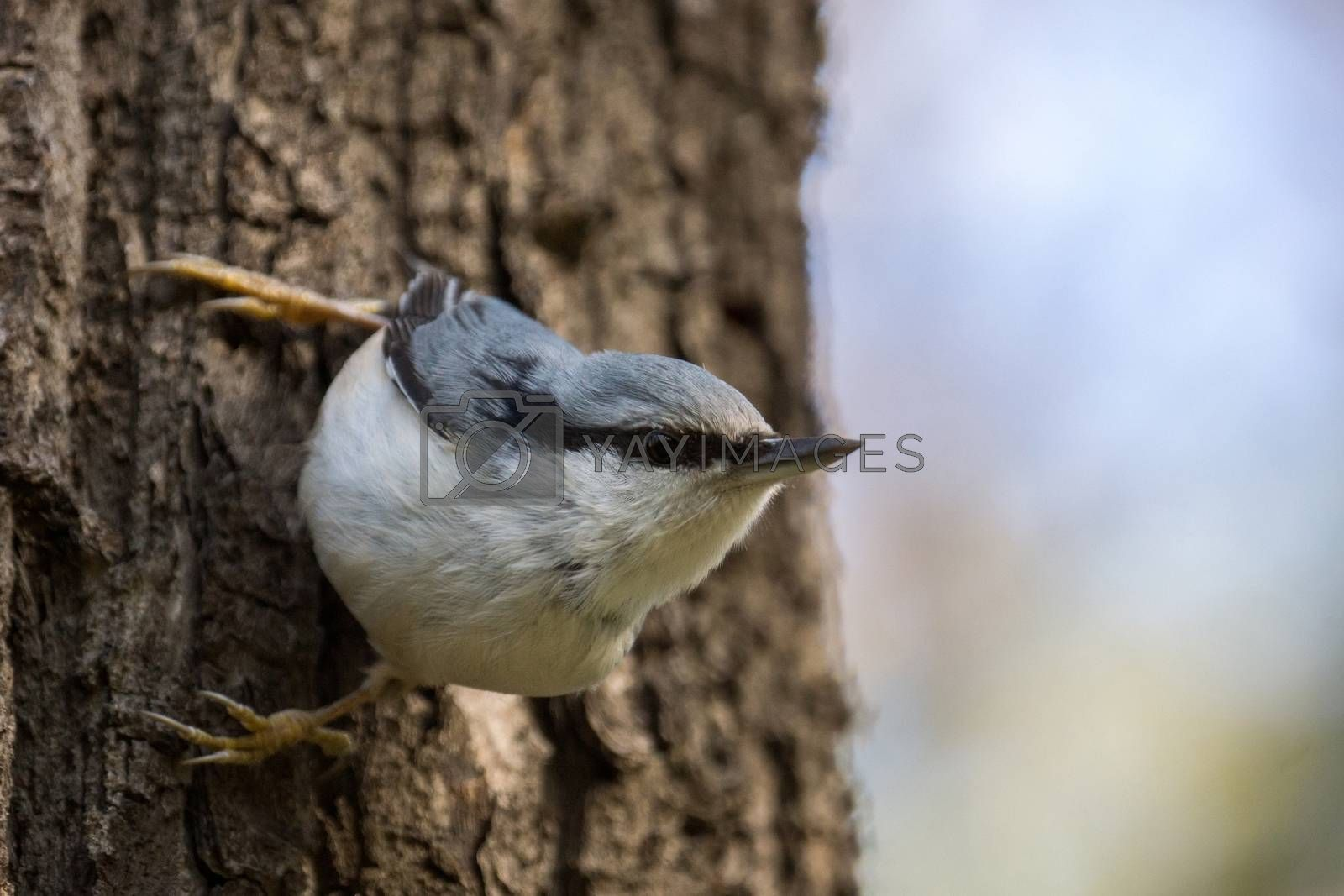 The photo shows a bird nuthatch