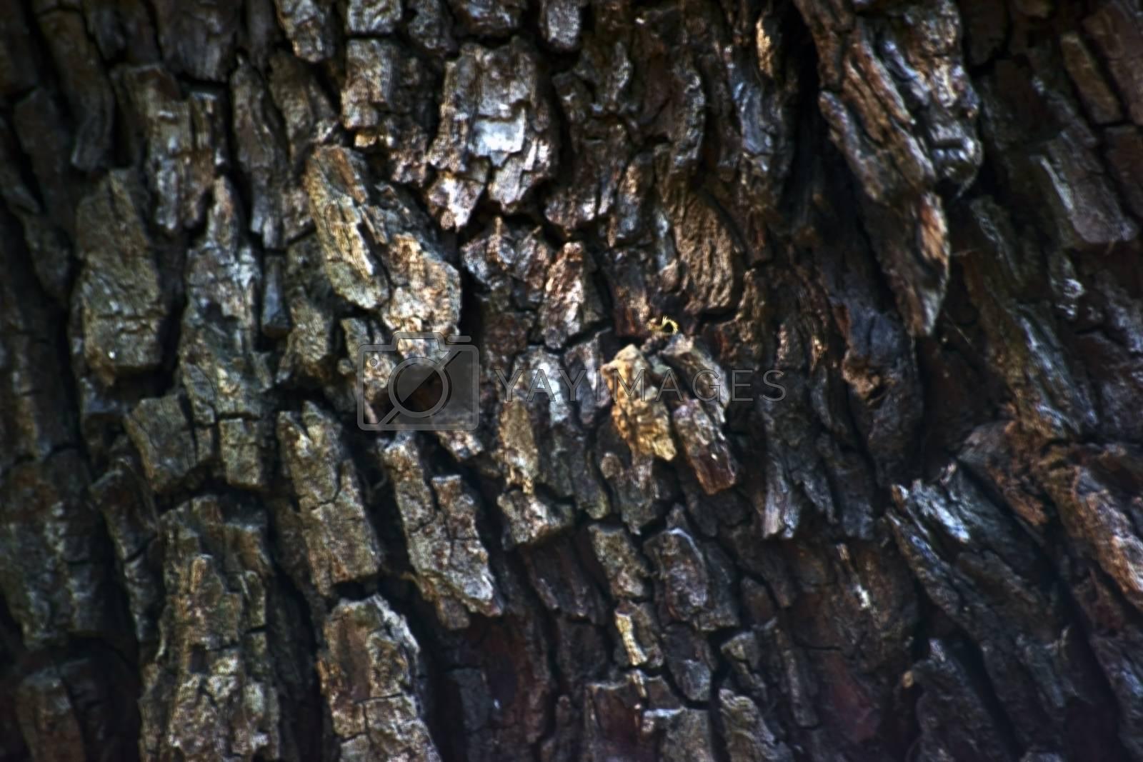 The closeup of bark of a Service tree, Sorbus domestica.