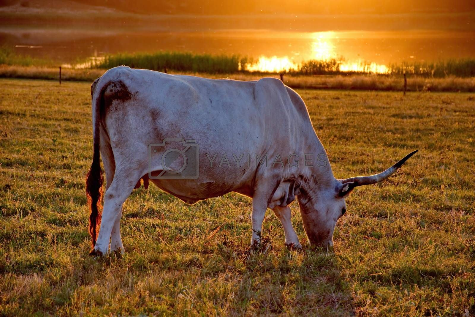 White cow with big horns in the sunset