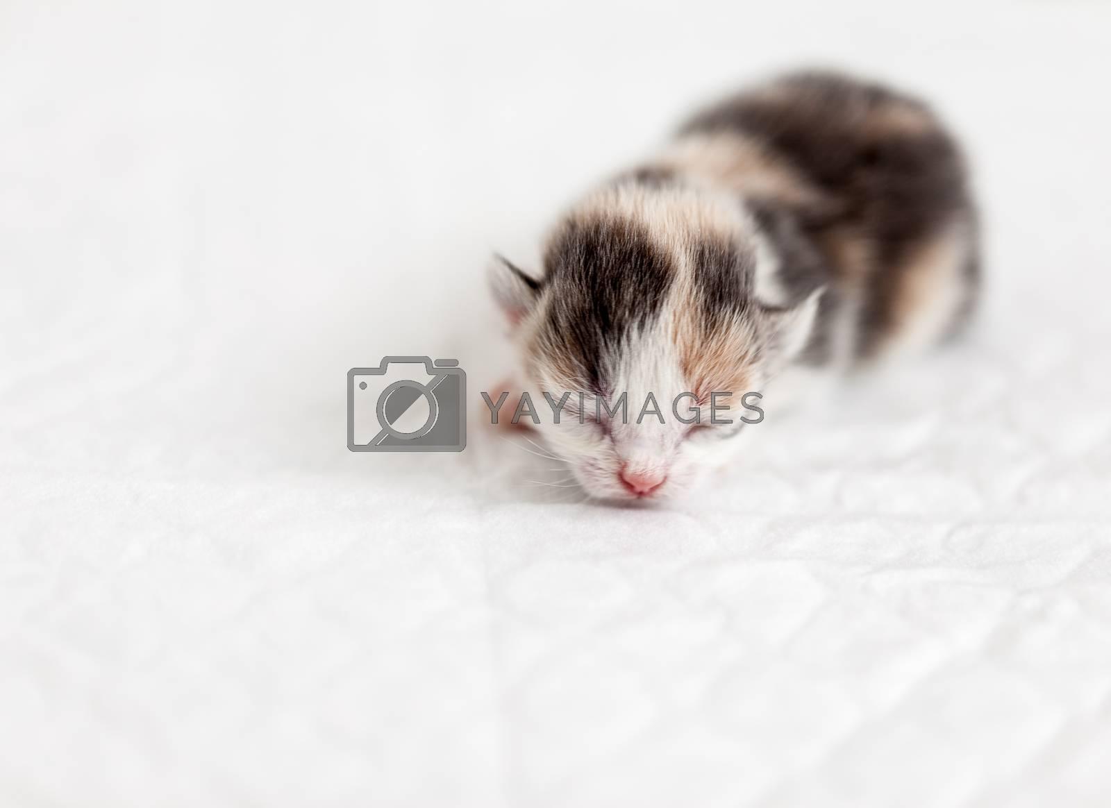 Very small blind kitten sleep. Girl 3 days
