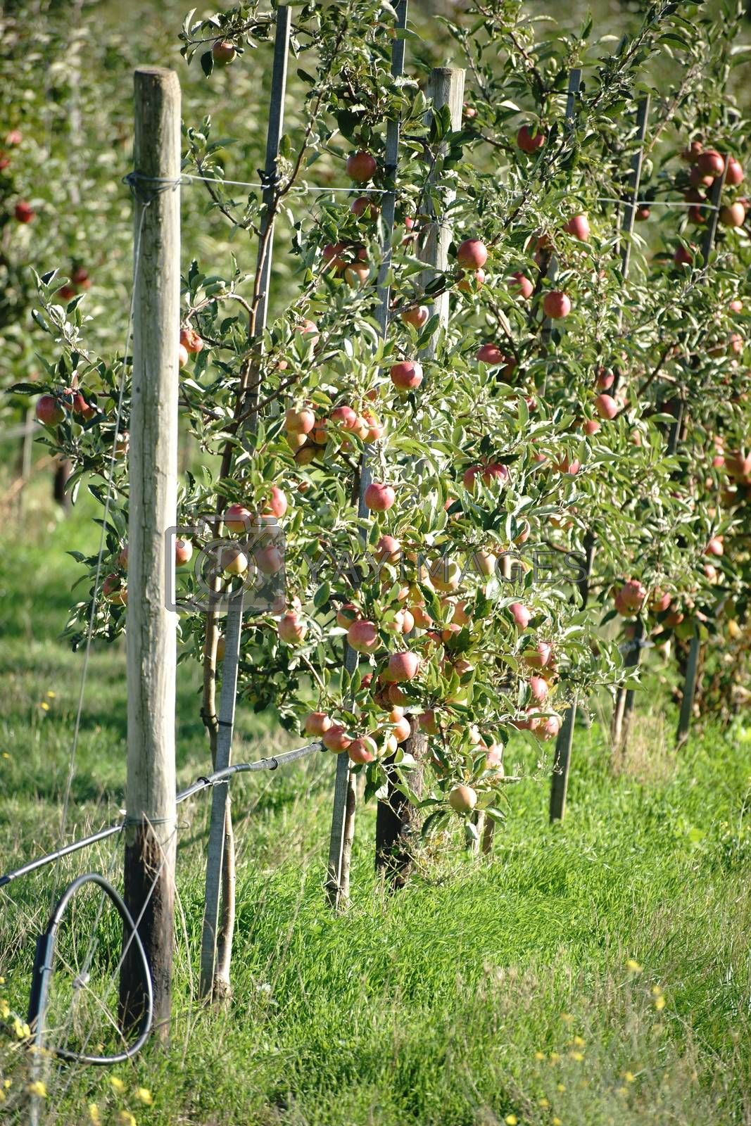 A number of circumcised apple trees in an apple orchard filled with apples.