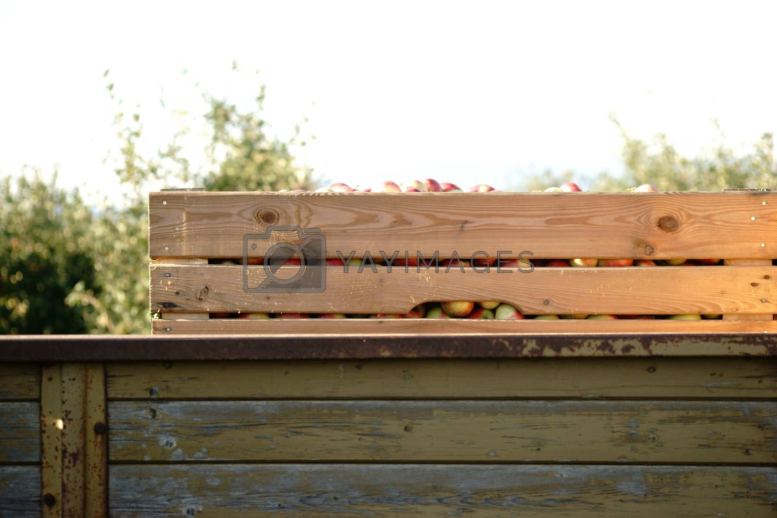 The side view of a box of freshly picked apples on a trailer.