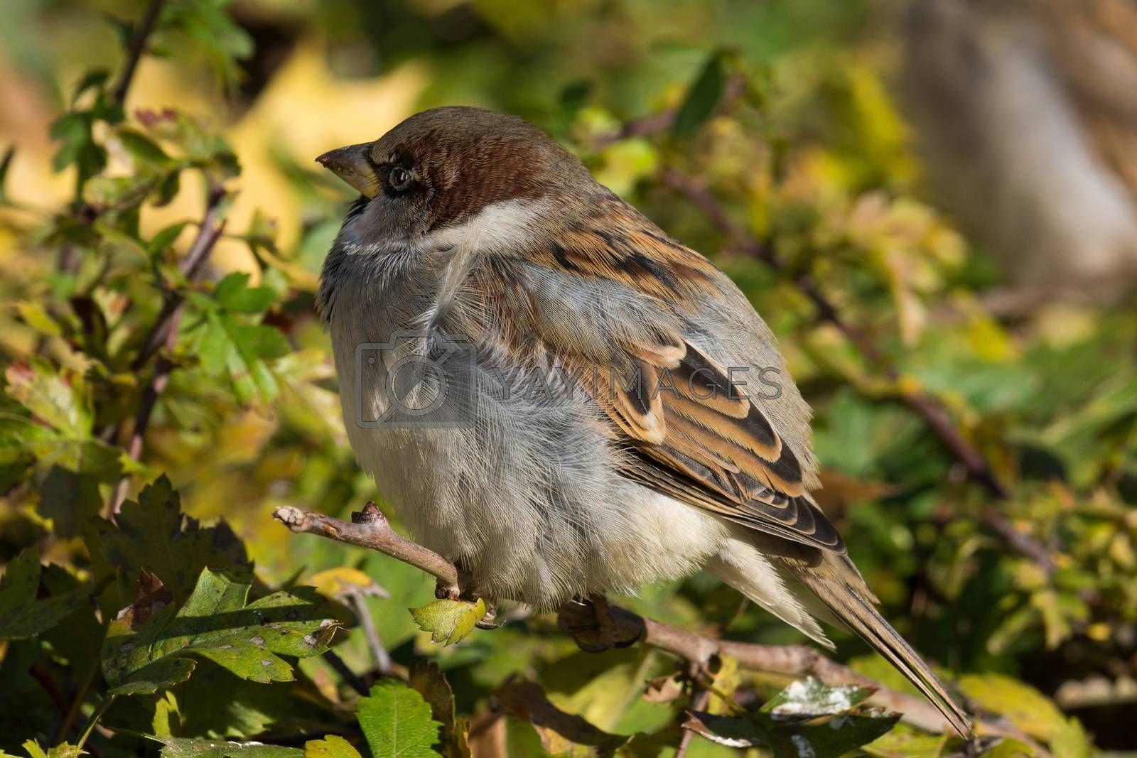 The picture shows a sparrow sitting on a bush