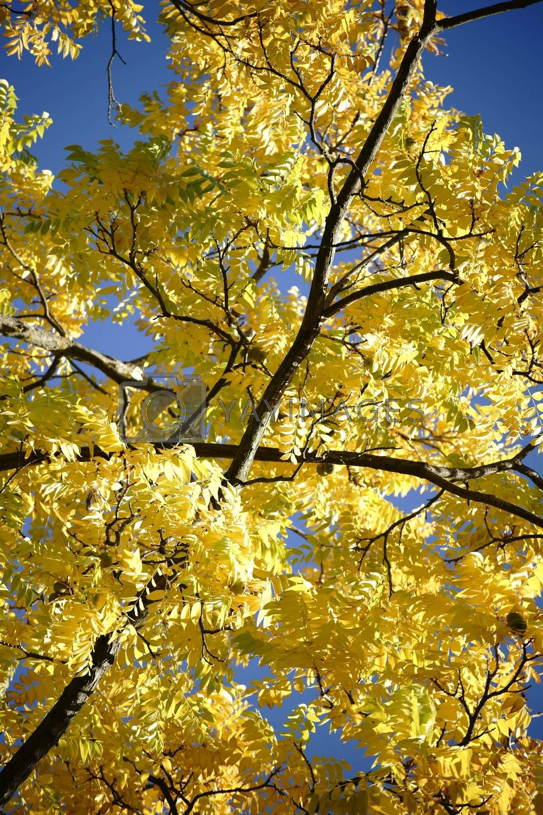 The canopy and the canopy of a black walnut tree in autumn, Juglans nigra.