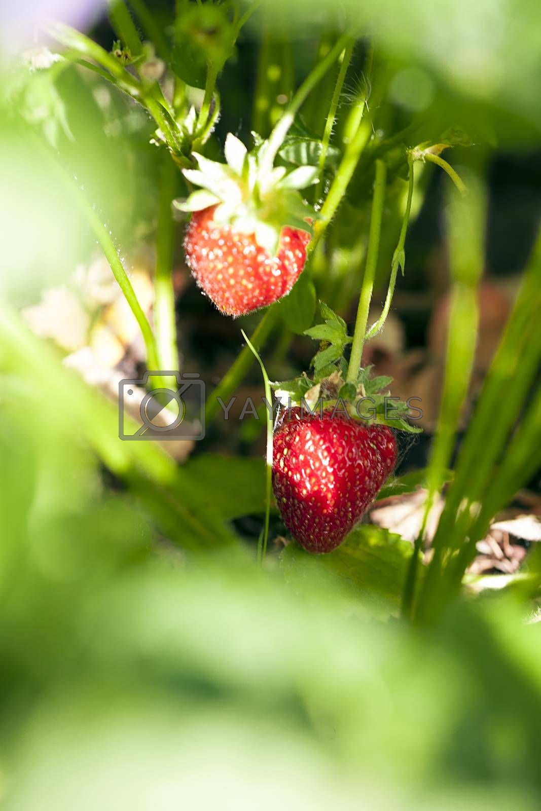 Ripe strawberry on a bush in the summer garden on a sunny day