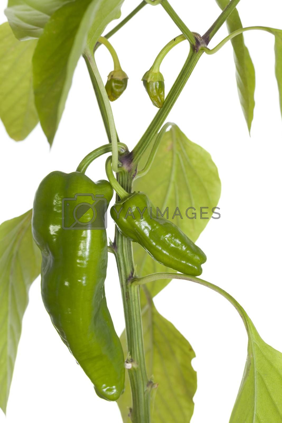 young seedling of green pepper on white background