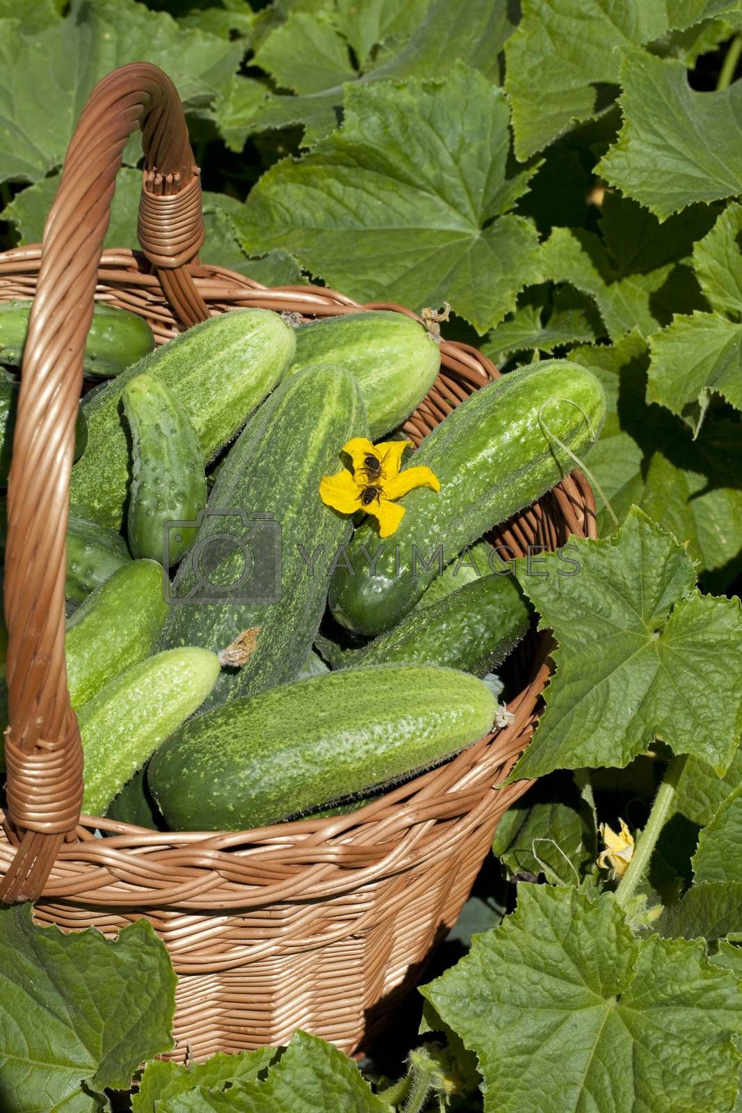 basket with young cucumbers stands on field