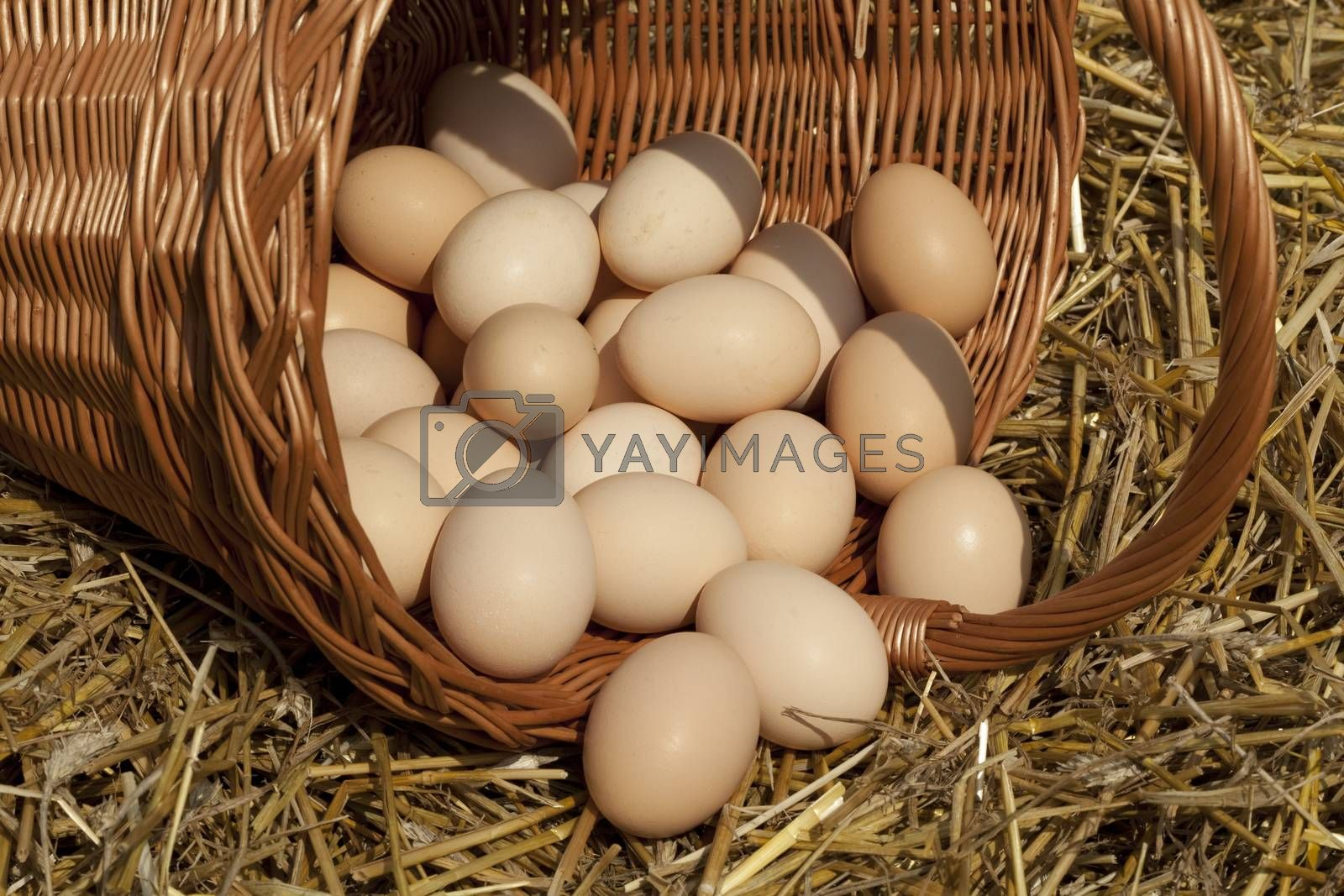 a lot of quantity of eggs country on straw in basket