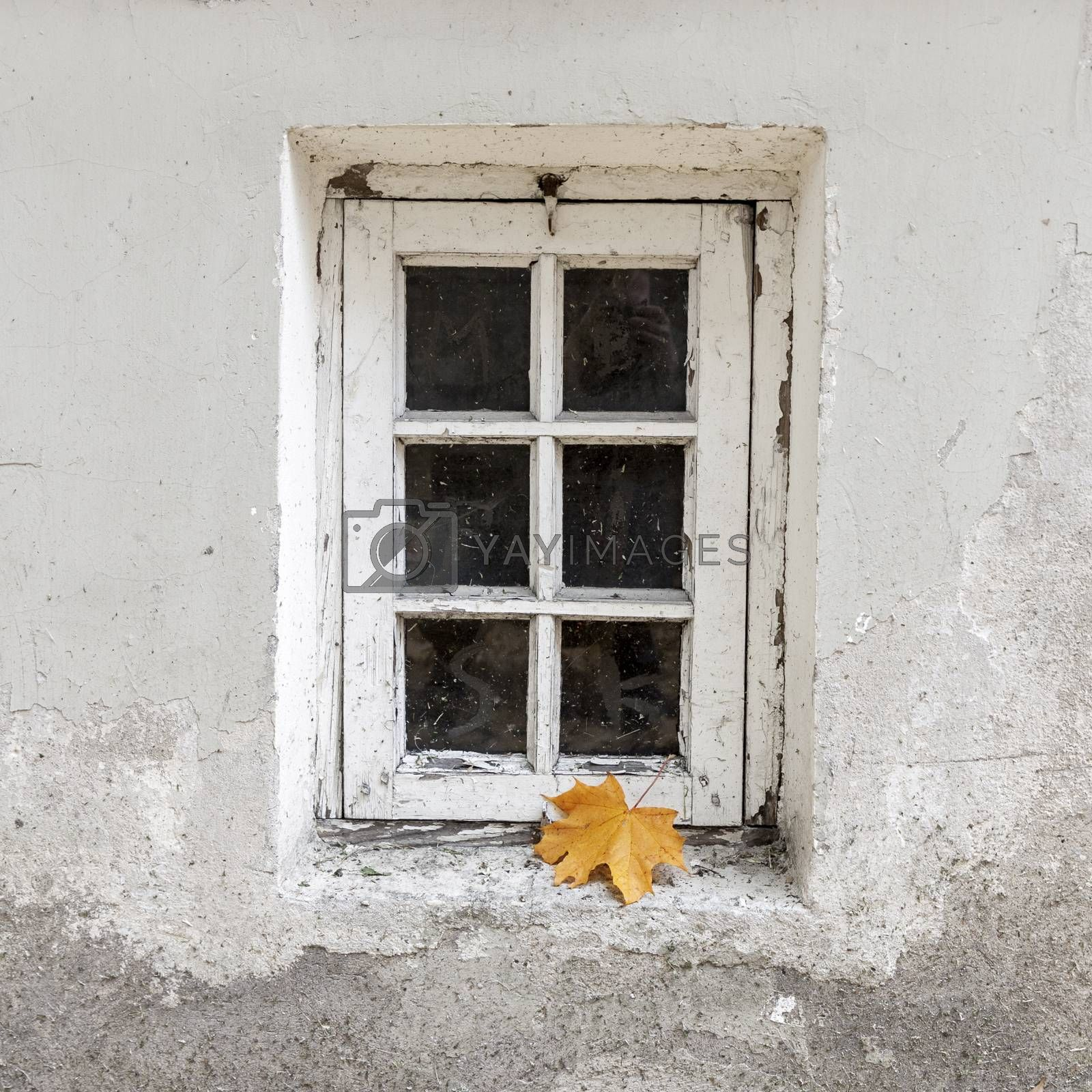 Weathered wooden window with single maple leaf at autumn