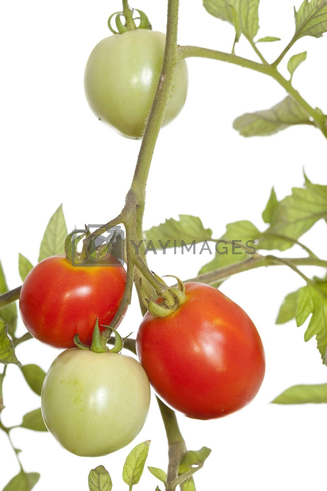 unripe and ripe tomato on bush on white
