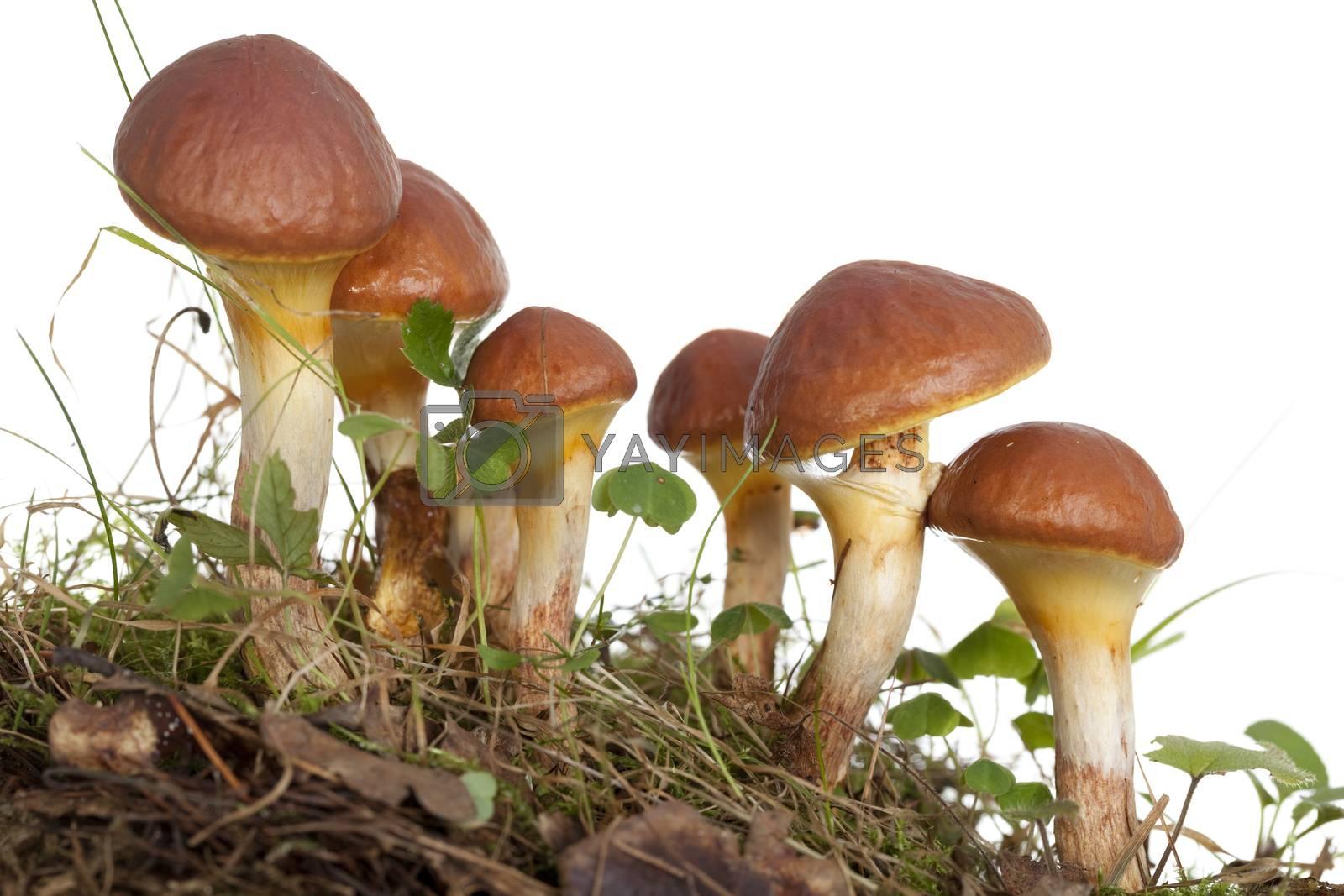 edible mushrooms (Suillus grevillei ) on white background