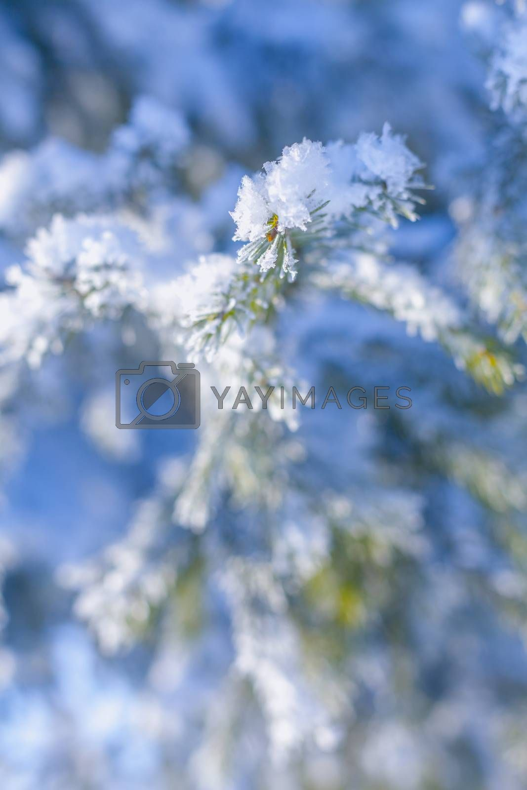 landscape frosty winter morning tree branches covered with snow