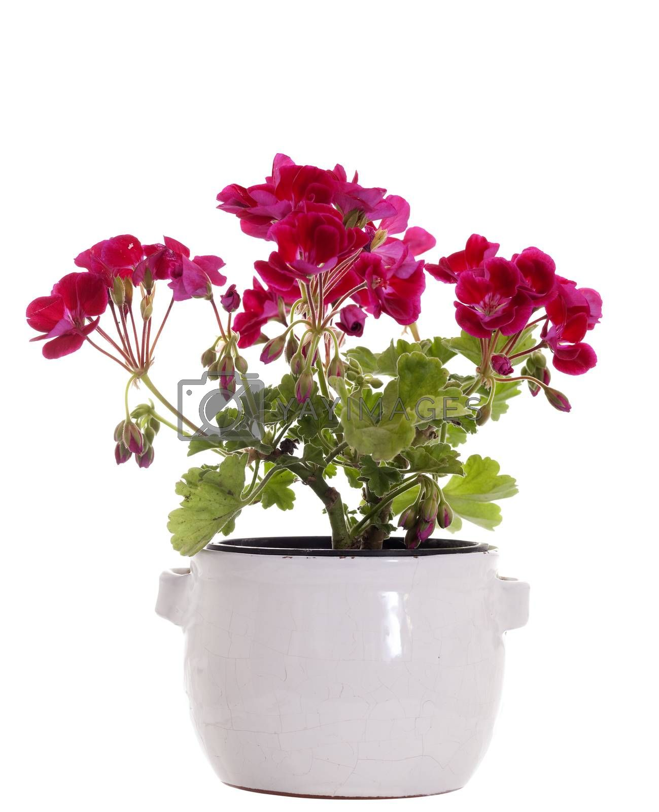 decorative flower in flower-pot on white background