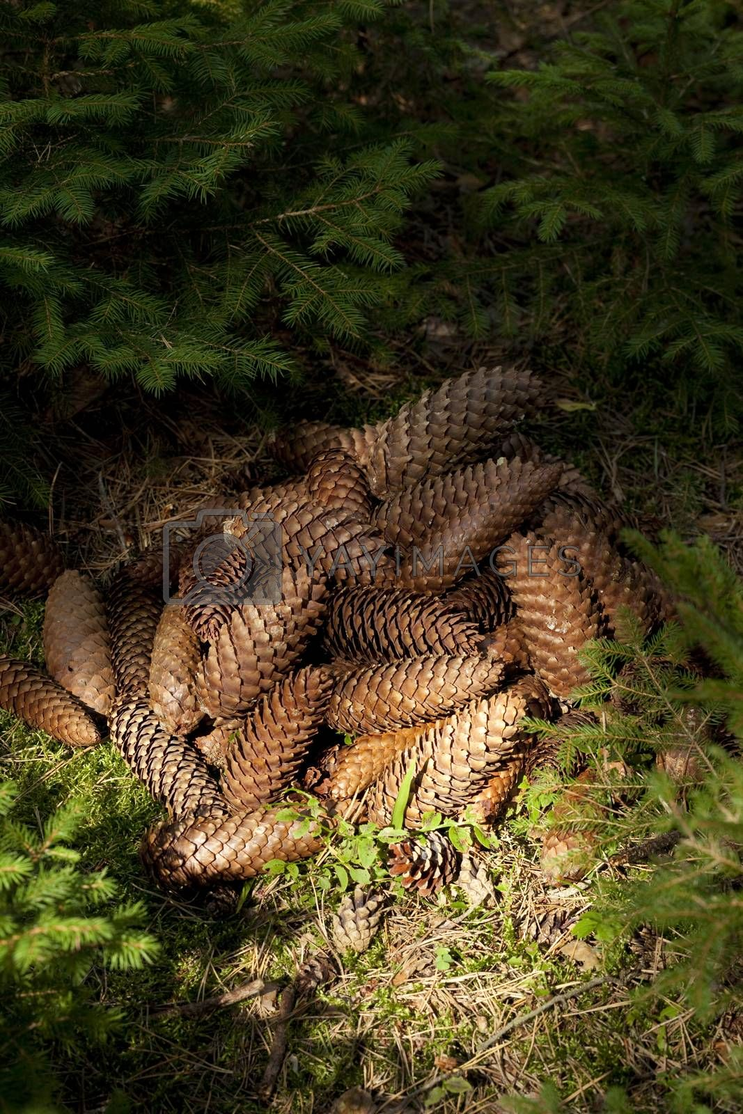 heap cone spruce a lies in forest