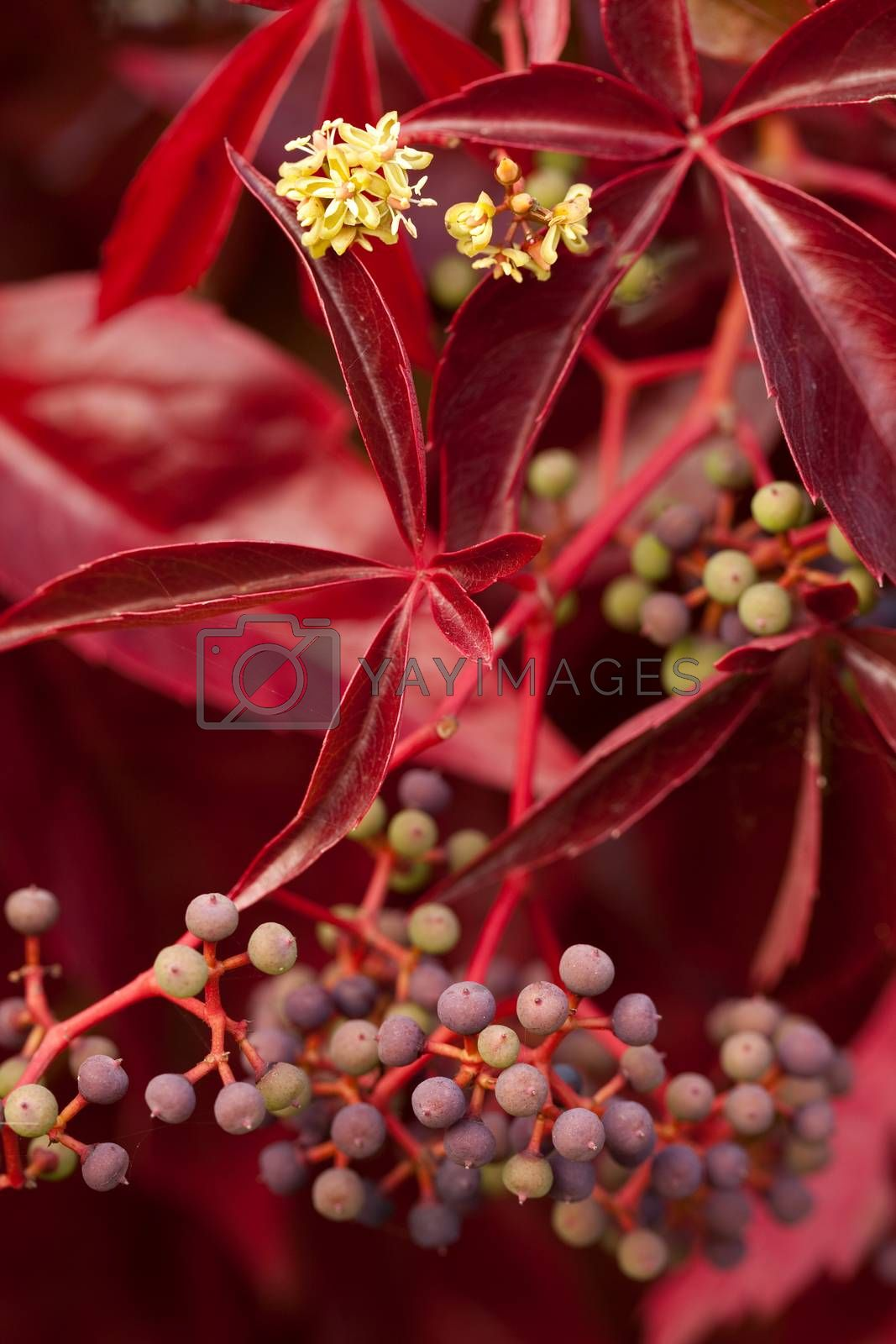 Boston ivy  (Parthenocissus tricuspidata) with flower and fruits