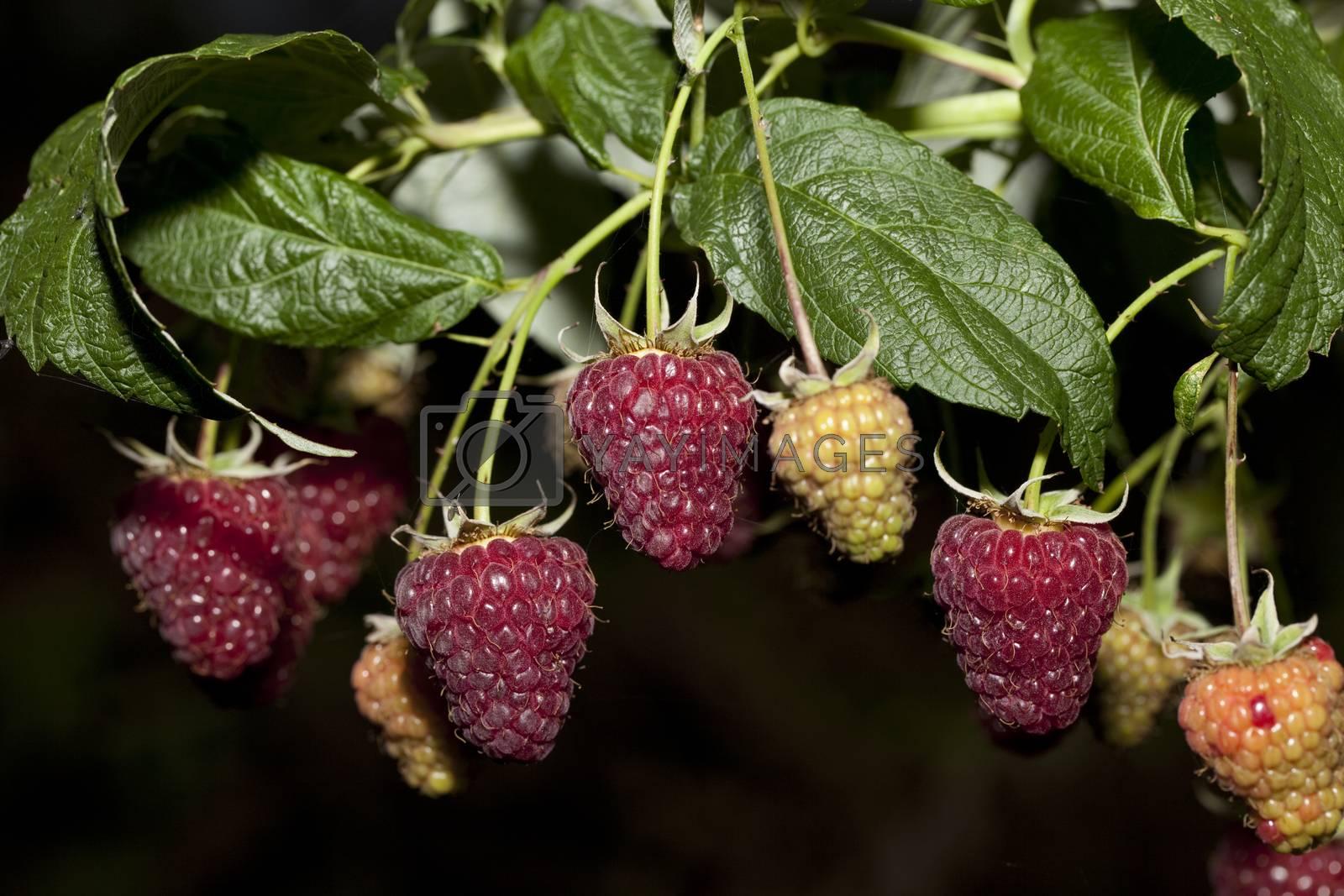 ripe and unripe raspberry (Rubus idaeus) on bush