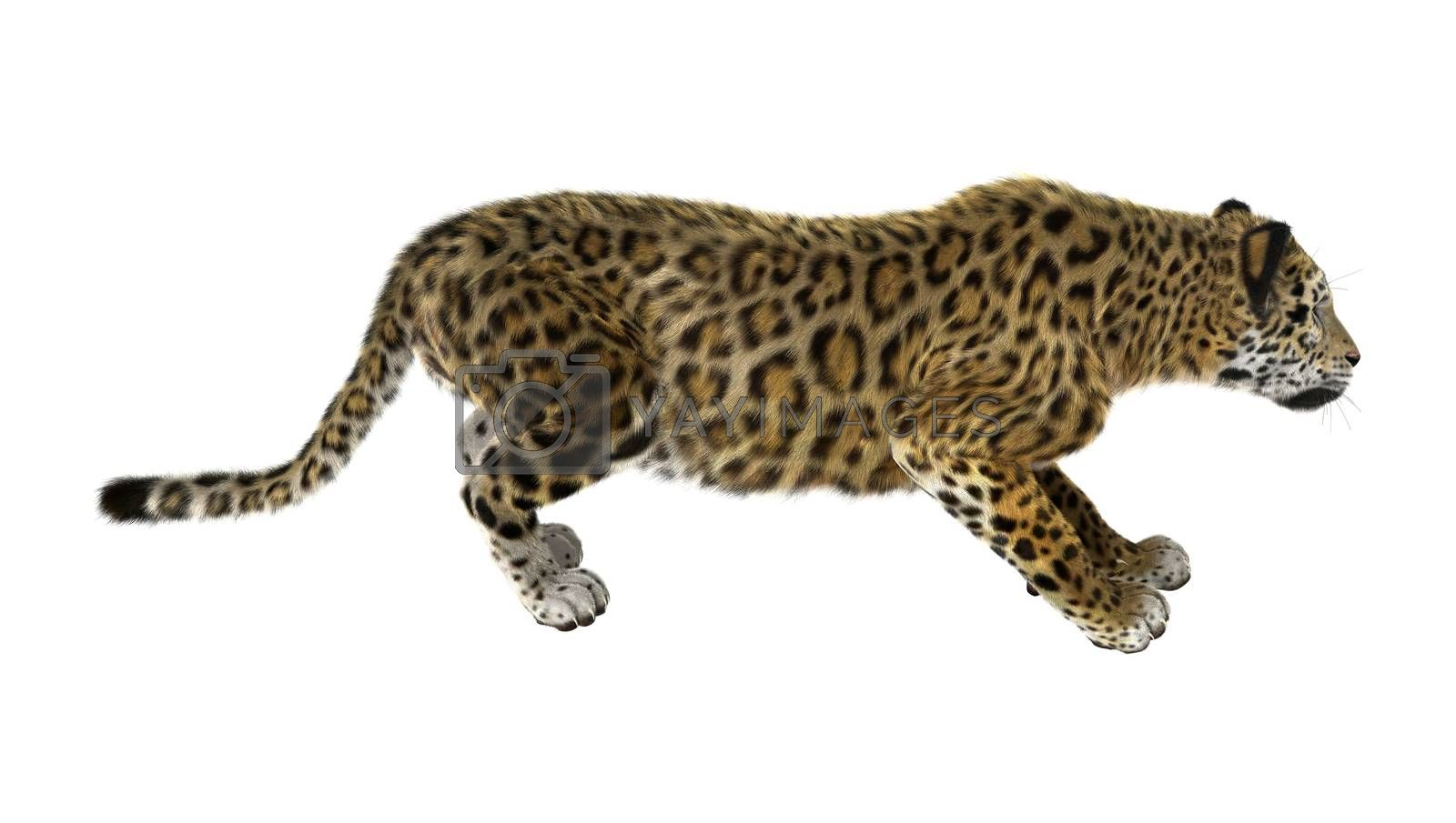 Royalty free image of Big Cat Jaguar by Vac