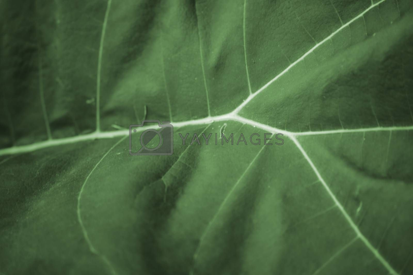 The macro close-up of the leaf surface of the Tentrapanax tree.