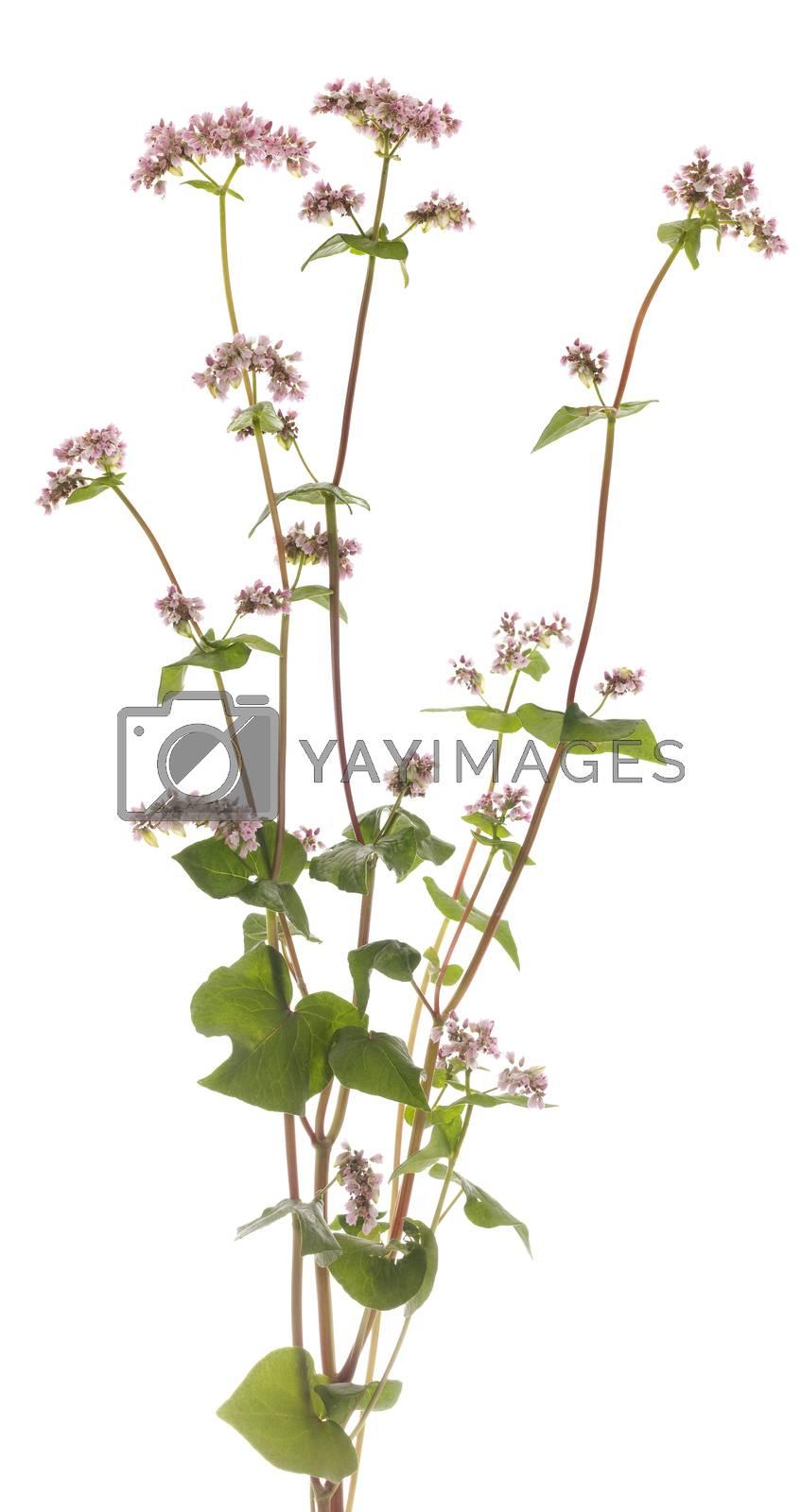 flower buckwheat (Fagopyrum Mill) on white background