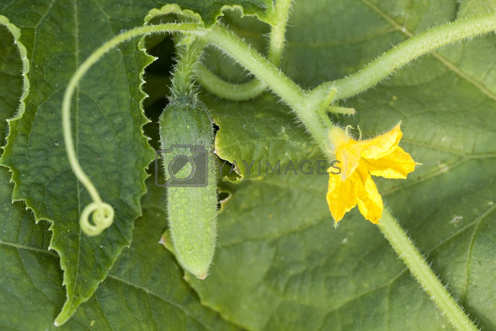 young cucumber and flower on bush