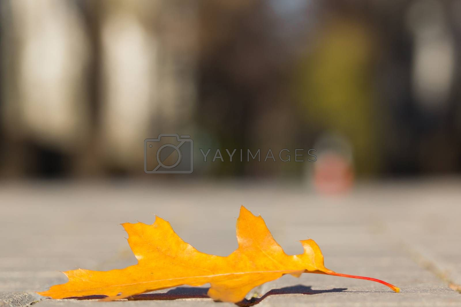 The photo shows an oak tree leaf lying on the pavement.