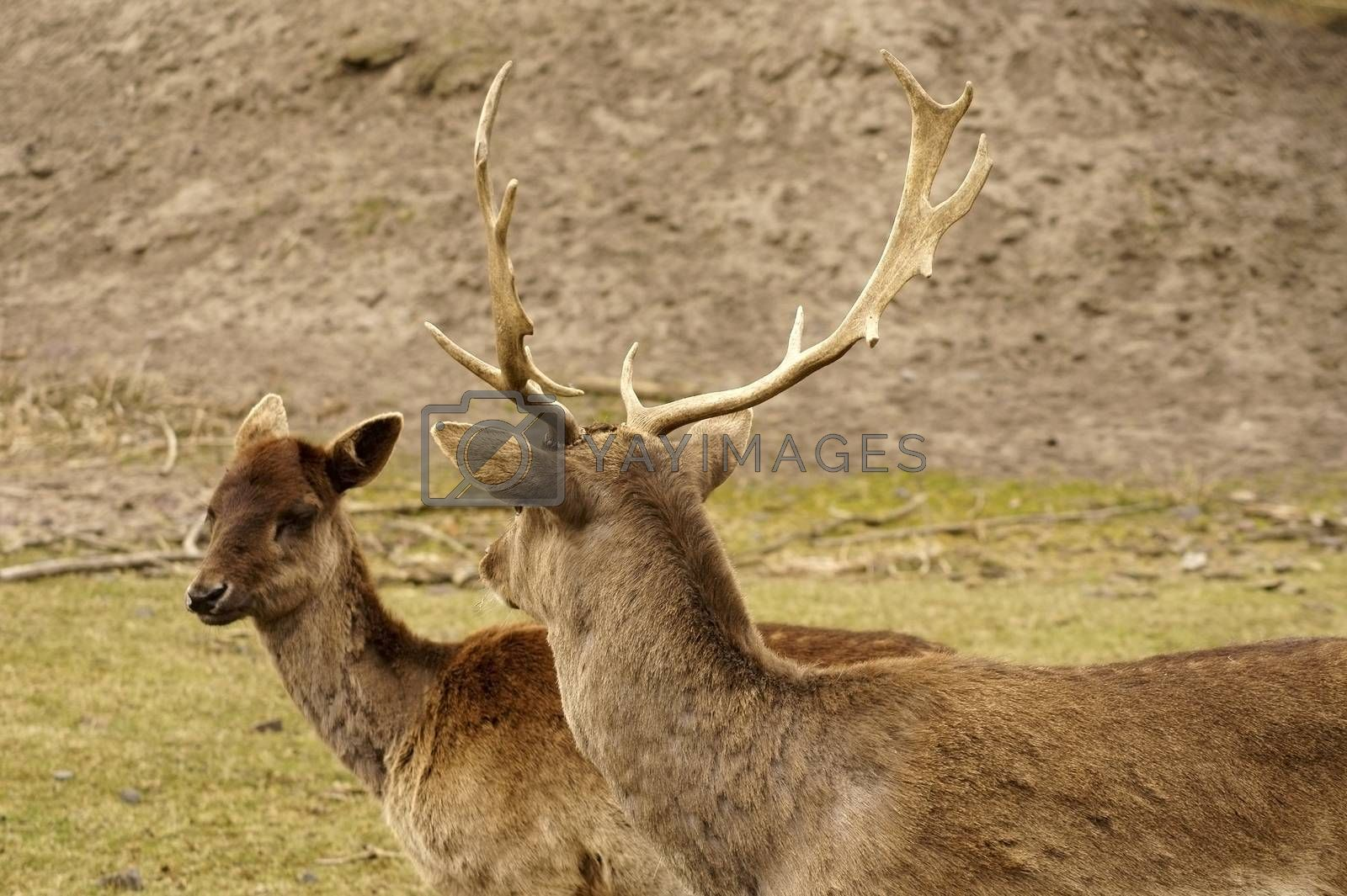 The closeup and the portrait of a female and male red deer.