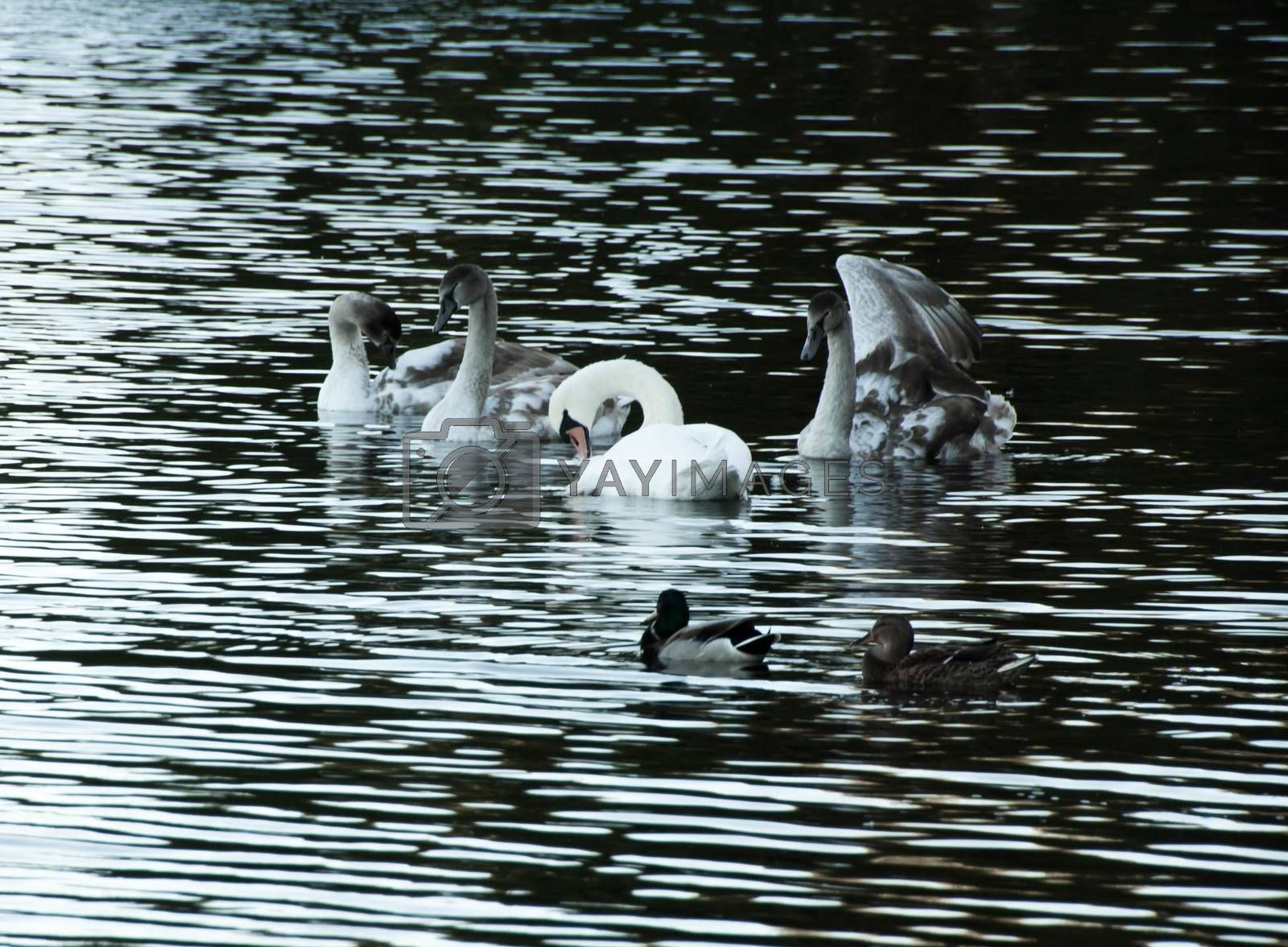 Courtship of a young gray swans on a blue lake with clear water.