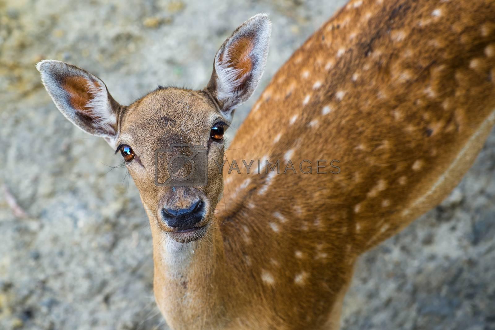 Beautiful young fallow deer, wild animal in natural surrounding looking at camera